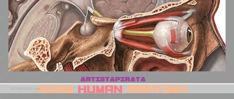 ADAM - Anatomía Interactiva humanos anatomia humana para estudiantes gratis